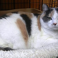 Domestic Shorthair Cat for adoption in Des Moines, Iowa - Peaches