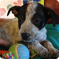 Cattle Dog/Dachshund Mix Puppy for adoption in Billerica, Massachusetts - Reign