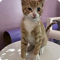Domestic Shorthair Kitten for adoption in Bakersfield, California - DEJON