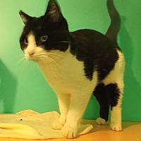 Adopt A Pet :: Boots - Walden, NY