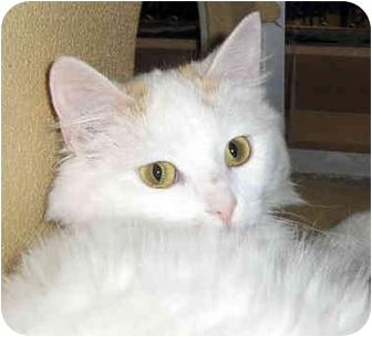 Domestic Shorthair Cat for adoption in Overland Park, Kansas - Tiffani