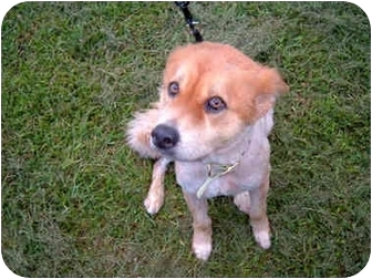 Collie/Chow Chow Mix Dog for adoption in New York, New York - Missy