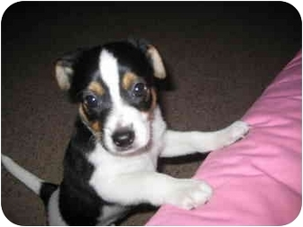 Lakeland Terrier/Boston Terrier Mix Puppy for adoption in Boerne, Texas - Panda