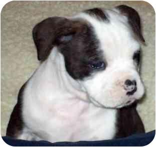 English Bulldog/American Bulldog Mix Puppy for adoption in Wake Forest, North Carolina - Bessie