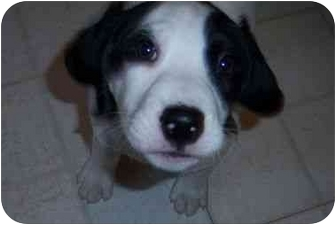 Beagle/Hound (Unknown Type) Mix Puppy for adoption in Richmond, Virginia - Cara