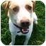 Photo 2 - Labrador Retriever/Australian Cattle Dog Mix Dog for adoption in Latrobe, Pennsylvania - Brady