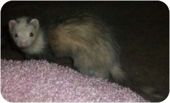 Ferret for adoption in Spokane Valley, Washington - Syd