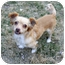 Photo 1 - Chihuahua/Shih Tzu Mix Dog for adoption in Shawnee Mission, Kansas - Spice Girl