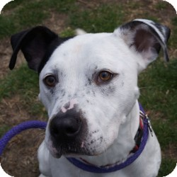 Pointer/Hound (Unknown Type) Mix Dog for adoption in Eatontown, New Jersey - Fred