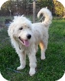 Standard Poodle/Labrador Retriever Mix Dog for adoption in Staunton, Virginia - Fuzz