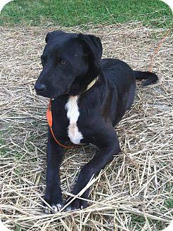Australian Shepherd/Labrador Retriever Mix Dog for adoption in Indian Trail, North Carolina - Toby