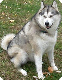 Alaskan Malamute Dog for adoption in SOUTHINGTON, Connecticut - Dakota