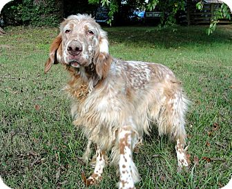 English Setter Mix Dog for adoption in Salem, New Hampshire - ADDY
