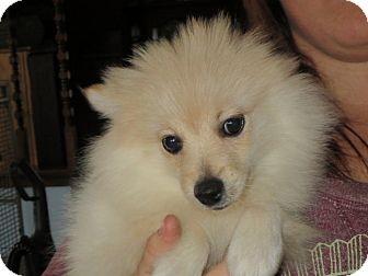 Pomeranian Puppy for adoption in Westport, Connecticut - Elijah