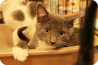 Domestic Shorthair Kitten for adoption in Rochester, Minnesota - Joplin