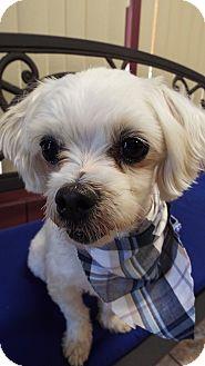 Maltese Mix Dog for adoption in Covina, California - Nelson