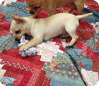 Chihuahua/Feist Mix Puppy for adoption in Bedminster, New Jersey - MAX