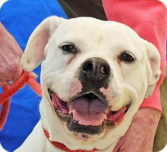 American Bulldog Mix Dog for adoption in Spokane, Washington - Ana
