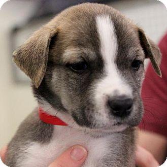 Shih Tzu Dog for adoption in Atlanta, Georgia - Dean