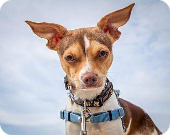 Chihuahua/Beagle Mix Dog for adoption in Bellingham, Washington - Smithers