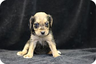 Beagle Mix Puppy for adoption in Danbury, Connecticut - Paisley