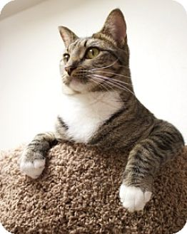 Domestic Shorthair Cat for adoption in Orland, California - Friend