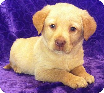 Golden Retriever/Labrador Retriever Mix Puppy for adoption in SOUTHINGTON, Connecticut - Luke