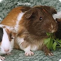 Adopt A Pet :: Savanna, St. Ana & St. Barbara - Santa Barbara, CA