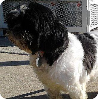Shih Tzu Dog for adoption in Bloomington, Illinois - Lynn