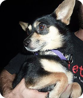 Pomeranian/Chihuahua Mix Dog for adoption in Phoenix, Arizona - Johnny Cash