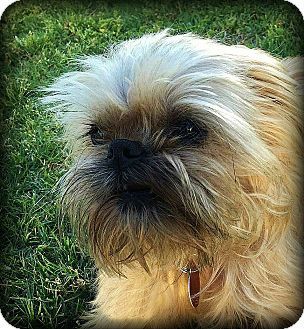 Brussels Griffon Dog for adoption in Overland, Kansas - FRED - Adopted
