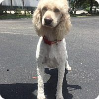 Adopt A Pet :: Margot - Goldendoodle - St. Petersburg, FL