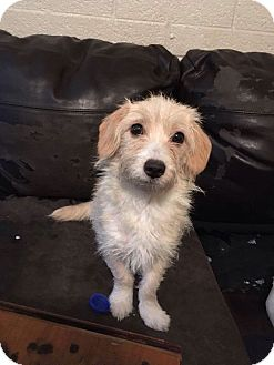 Terrier (Unknown Type, Small)/Poodle (Miniature) Mix Puppy for adoption in Goodyear, Arizona - Tuffy