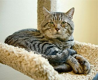Domestic Shorthair Cat for adoption in Coronado, California - Butch