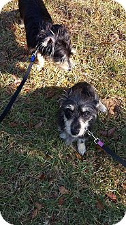 Dachshund/Yorkie, Yorkshire Terrier Mix Dog for adoption in Sumter, South Carolina - Whiskey