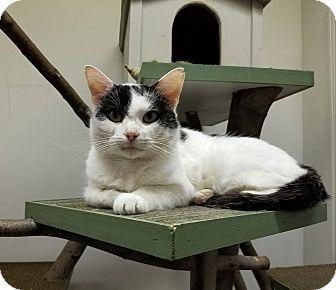 Domestic Shorthair Cat for adoption in Elyria, Ohio - Arty