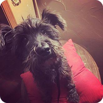 Schnauzer (Miniature)/Scottie, Scottish Terrier Mix Dog for adoption in Astoria, New York - Monty: Adoption Pending