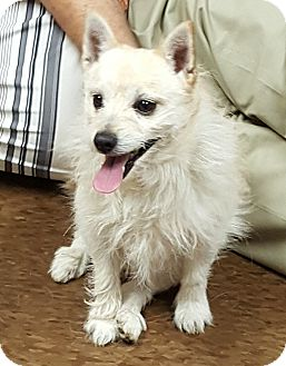 Cairn Terrier/Pomeranian Mix Dog for adoption in Albion, New York - Bud