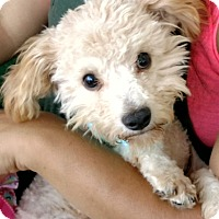 Adopt A Pet :: Tin Tin - San Diego, CA