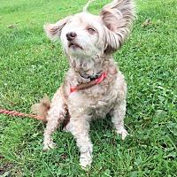 Adopt A Pet :: OLIVER - Cadiz, OH