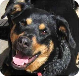 Rottweiler/Labrador Retriever Mix Dog for adoption in Lake Arrowhead, California - Jetta