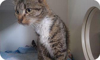 Domestic Shorthair Cat for adoption in Randolph, New Jersey - Lola