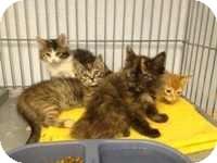 Domestic Shorthair Kitten for adoption in Palm desert, California - Noel