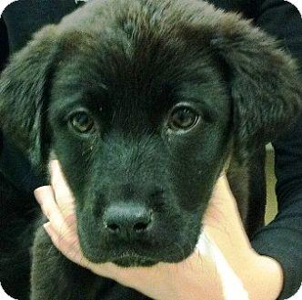 Newfoundland Mix Puppy for adoption in Oswego, Illinois - I'M ADOPTED Willow Stewart