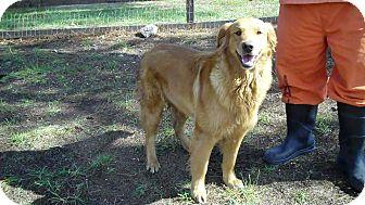 Golden Retriever Dog for adoption in BIRMINGHAM, Alabama - Daphne