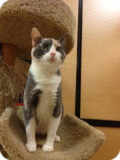 Domestic Shorthair Cat for adoption in Monroe, Georgia - Sally