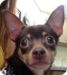 Chihuahua Mix Dog for adoption in Lancaster, Ohio - Radish