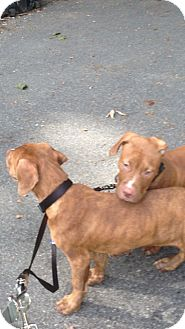 American Pit Bull Terrier/Hound (Unknown Type) Mix Dog for adoption in Wanaque, New Jersey - MIX BREED PUPPIES