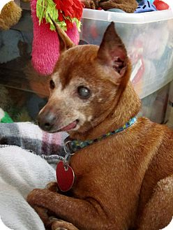 Miniature Pinscher Mix Dog for adoption in Plainview, New York - Perk