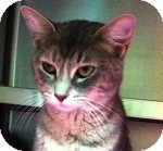Domestic Shorthair Cat for adoption in Wheaton, Illinois - Jewel